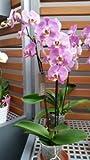 Orchidee Phalaenopsis, rosa, 3 Rispen, min. 15 Blüten, Topfgröße 12, 50-60cm hoch, Orchid