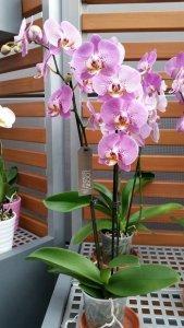 phalaenopsis-orchidee-rose-3-epis-min-15-fleurs-taille-du-pot-12-50-60cm-haute