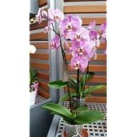 Orquídea, rosa, 3 espigas, min. 15 flores, tamaño del bote 12, 50-60cm de alto