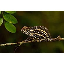 Pete Oxford / DanitaDelimont – Campan's chameleon lizard Madagascar Photo Print (48,26 x 30,48 cm)