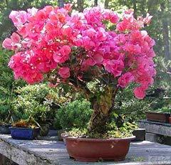agrobits 20 pc/semi bouganville bag, bougainvillea spectabilis willd semi, bella semi di fiori di piante bonsai pentola per il giardino di casa: 8