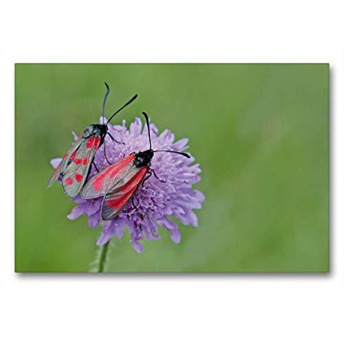 Calvendo Premium Textil-Leinwand 90 cm x 60 cm quer, Sechsfleckwidderchen (Zygaena filipendulae) und Thymianwidderchen (Zygaena purpuralis) auf Witwenblume | Leinwand, Leinwanddruck Tiere Tiere