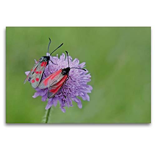 Calvendo Premium Textil-Leinwand 120 cm x 80 cm quer, Sechsfleckwidderchen (Zygaena filipendulae) und Thymianwidderchen (Zygaena purpuralis) auf Witwenblume | Leinwand, Leinwanddruck Tiere Tiere