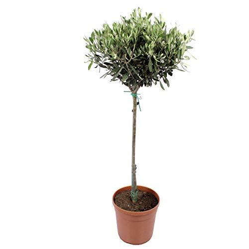 BOTANICLY | Zimmerpflanze - Olivenbaum | Höhe: 100 cm | Olea europeae