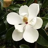 Magnolia grandiflora - 5 semi