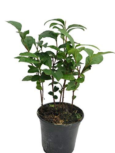 Tea Plant. Camellia Sinensis 'Tea Time' Plant in a 10.5cm Pot