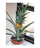 10x Mini Ananas Ananas Comosus Zwergananas BABYANANAS Samen Obst #387