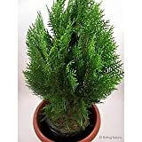 #9: Mor pankh Live plant with pot (ojorey)(included Pot)