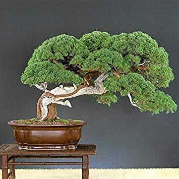 Pine Tree Garden Seeds (Virtue Chinis 50 Seeds Japanese Pine Tree Seeds Pinus Thunbergii Seeds Bonsai Seeds DIY Home Garden)