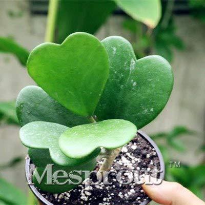Pinkdose New Fresh Hoya, in vaso Hoya Carnosa Flower Garden Plants Pianta perenne Orchidea 100 PZ, spedizione gratuita: 14