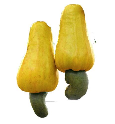 Cashewbaum (Anacardium occidentale) 3 Samen - Pistazien-cashew