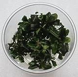 XL In-Vitro Bucephalandra wavy green -...