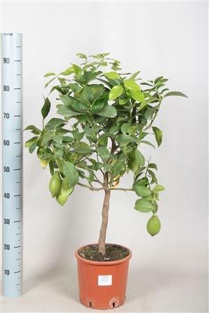 beautiful-alberi-di-limone-con-limoni-in-tre-dimensioni-alberi-da-frutto-piante-per-interni