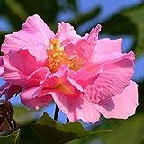 jinqiao Graines, 50 Pcs Hibiscus Fleur Graines Jardin Cour Maison Facile à Cultiver Plante DIY Bonsai Décor - Hibiscus Graines