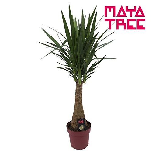 Blumen-Senf Yucca Maya 120-130 cm Riesen-Palmlilie