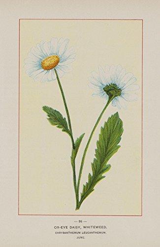 The Poster Corp Unknown – Wild Flowers of America 1894 Ox-Eye Daisy Kunstdruck (45,72 x 60,96 cm) (Daisy Eye Ox)
