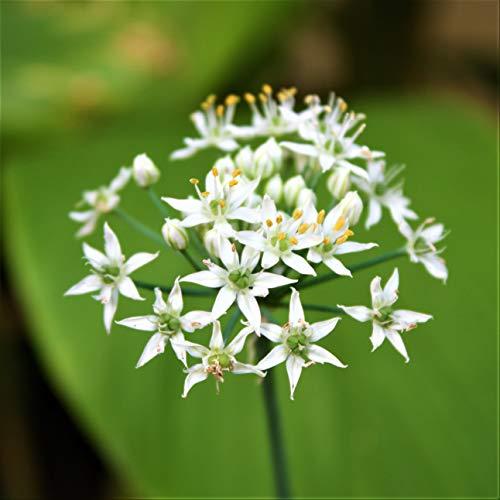 50 graines de ciboulette chinoise (Allium Tumberosum)