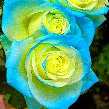 Vistaric 200 pz rare colore misto semi di rosa arcobaleno semi di rosa pianta perenne fiori bonsai vaso casa giardino decorazione semi di fiori cielo blu