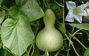 premier-seeds-direct-gor03-gourd-large-bottle-seeds-pack-of-12
