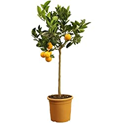 Orangenbaum Grande