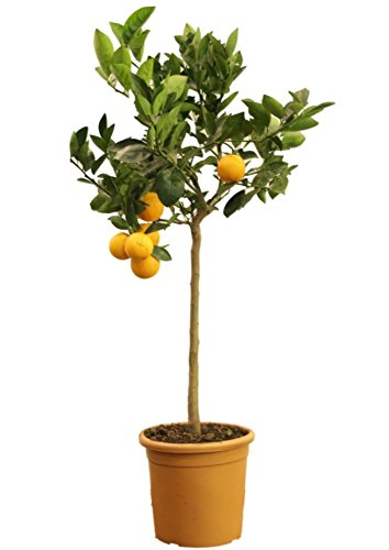 Calamondin-Orange  <strong>Blattform</strong>   Eiförmig