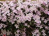 Clematis montana 'Rubens' - Mehrjährige Kletterpflanze