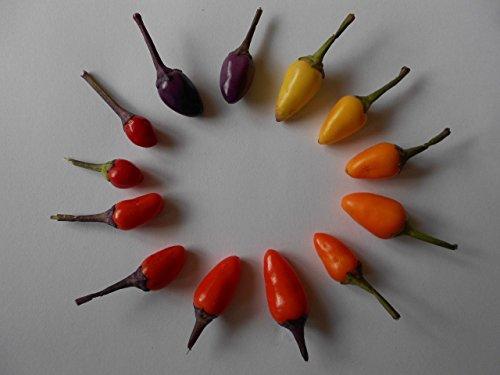 100 Samen - Bolivien Rainbow Chili - -REGENBOGEN-CHILI- **Tolle Farbspektakel**