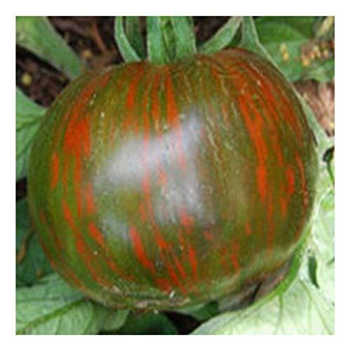aromatische, schwarz-grün gestreifte Tomate – black Zebra – 20 Samen