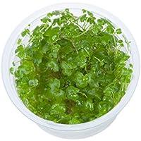 Tropica Hydrocotyle tripartita 1–2-grow Tissue Culture in vitro planta para Acuario Camarón Safe & Caracol libre