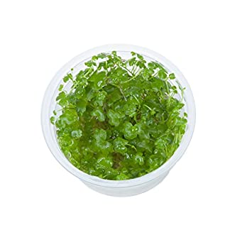 Tropica Hydrocotyle tripartita 1-2-Grow Tissue Culture In Vitro Live Aquarium Plant Shrimp Safe & Snail Free 12