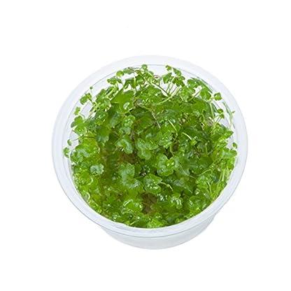 Tropica Hydrocotyle tripartita 1-2-Grow Tissue Culture In Vitro Live Aquarium Plant Shrimp Safe & Snail Free 1