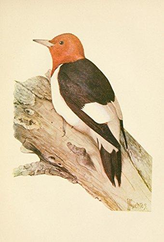 L.A. Fuertes - The Woodpecker 1901 Red-Headed Woodpecker Kunstdruck (45,72 x 60,96 cm) -