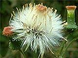 ASTONISH GRAINES D'ASTONIE: 2015 nouvelles 100pcs Graines de fleurs mongolicum, graines Dande, mongoles fleurs Dande, Sementes balcon plantation en pot
