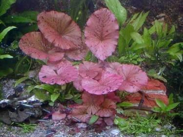 3 rote Tigerlotus ca. 5 cm Austrieb mit Knolle von 901 auf Du und dein Garten