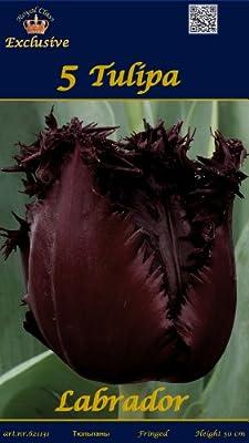 """Rarität: Gefranste Tulpe """" LABRADOR """" von MOSSELMAN - Du und dein Garten"""