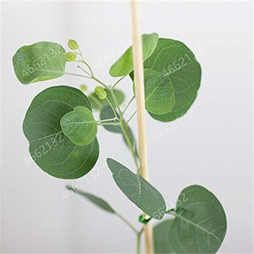 SONIRY 100 PCS Mexikanische riesiger Eukalyptusbaum Pflanze Hof y Pflanzen, Kontrolle, Tropical Baum für Blumentopf: 1