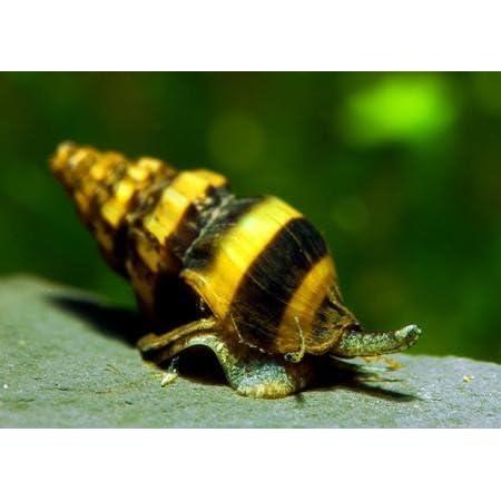 Garnelio – Raubschnecke – Anentome Helena – 10er Gruppe – natürliche Schneckenfalle