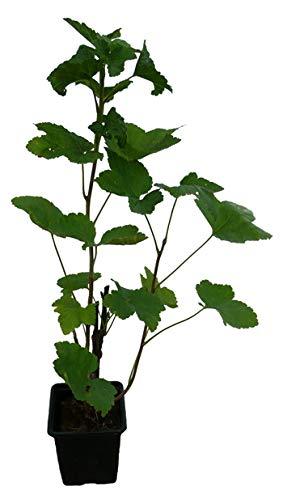Rote Johannisbeere Pflanze ROLAN robust und sehr ertragreich