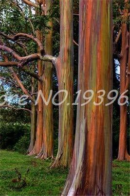 Ventes de 200 pièces/sac Rare Rainbow arbre tropical, Showy vivace Bonsai Potted Maison et jardin vert clair (ing GRAINES SEULEMENT)