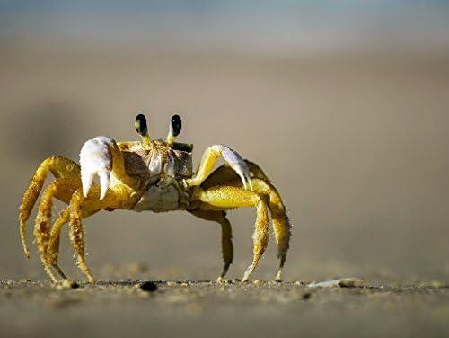 Carnaval de Noël, bonne Crabe offre à Noël Lais Puzzle Crabe bonne 500 Pieces 06b976