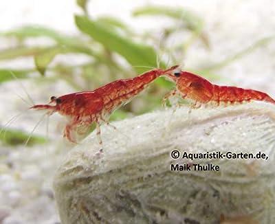 """GARNELEN : Neocardina davidi"""" Red""""- Red Fire Zwerggarnelen/Red Cherry Shrimp 5 Tiere"""