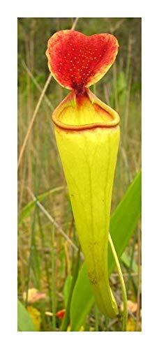 Kannenpflanze Nepenthes -