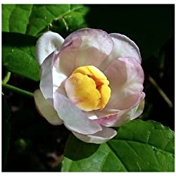 Calycanthus chinensis - Chinesisch Piment - seltene tropische Pflanze Baum Samen (5)