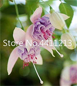 ischen Fuchsia Bonsai Garten Balkon Bonsai Laternen Blumen Spectabilis Topfblüte DIY Pflanze Bonsai: 15 ()
