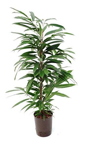 Birkenfeige, Ficus binnendijkii Amstel King, Zimmerpflanze in Hydrokultur, 18/19er Kulturtopf, 100 - 110 cm