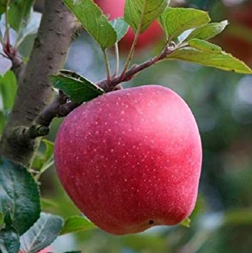 PlenTree 15 Samen von Apfel Red Delicious von Apple