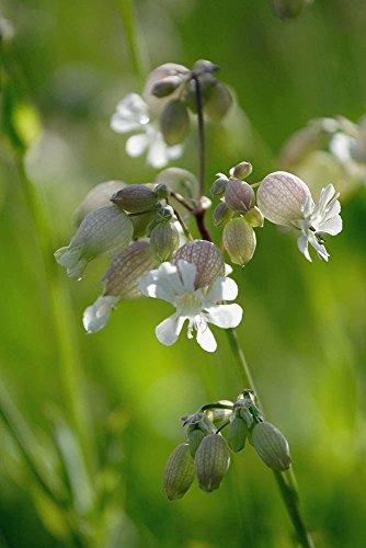 Just Seed Wild Flower (British) Blase Leimkraut, Silene vulgaris 500 Samen