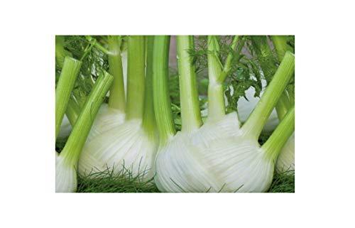 425x Fenchel, Finale EKO- Fenchel Samen Gemüse K497