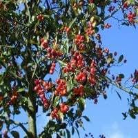 Crataegus lavalleei Carrierei 10-12 high tree trunk no clod