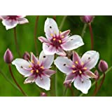 Butomus Umbellatus–Flores de junco